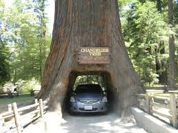 chandelier drive through tree my car through the chandelier tree