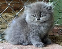 cute fluffy gray kittens. Brilliant Cute Grey Kitten Amy With Cute Fluffy Gray Kittens I