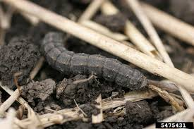 Black Cutworms Are On Their Way Farm And Dairy