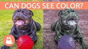 can dogs see color how a dog s