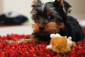 baby yorkshire terrier. Beautiful Baby 1 Focus On Training If Your Yorkshire Terrier  And Baby U