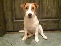 Собаки и щенки породы <b>Джек Рассел терьер</b> - купить из ...
