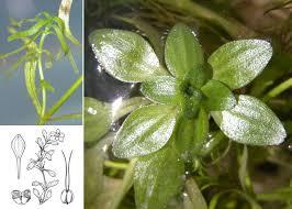 Callitriche obtusangula Le Gall - Portale della Flora di Roma