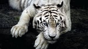 preview wallpaper tiger albino lie muzzle