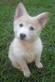 white husky mix puppy. Contemporary White German Shepherd Husky Mix Puppies White Animals Big Small Pi 2nNF14ZX On Puppy I