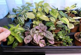 indoor fairy garden. Two Inch Baby Plants Being Sold As \ Indoor Fairy Garden