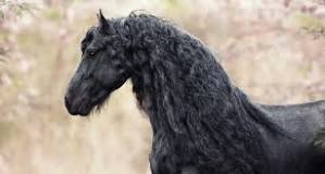 Image result for Friesian Horse For Sale