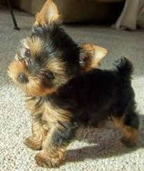 cute yorkie puppies for sale. Beautiful Yorkie HKTFY MF Yorkie Puppies  42000 Inside Cute Puppies For Sale C