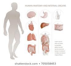 Whole Body Chart Skin Full Body Stock Vectors Images Vector Art Shutterstock