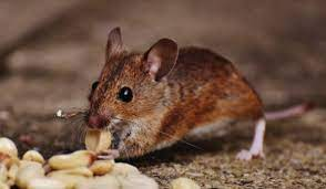 4 tips to keep mice out of your yard