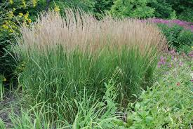 Tall Decorative Grass Three Mid Sized Ornamental Grasses For Small Gardens What Grows