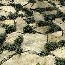 dwarf mondo grass outdoor plants