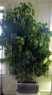 Coffee grows well indoors in any bright room, but its lush look is ideal for bedrooms, dens, and family rooms where you want to create a cozy look. Coffee Trees Growing In A Sub Irrigated Planter Sip Coffee Tree Growing Tree Coffee Plant