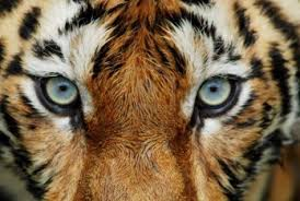 tiger wallpapers free tiger close tiger face hd wallpapers