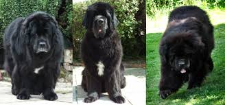 Newfie Puppy Growth Chart Owning A Newfoundland Caring For Them Where Love