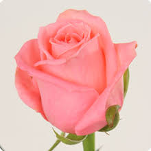 Bildergebnis für karina rosenpflanze rosa pink