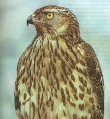 Реферат Защита птиц Беларуси com Банк рефератов  Естественными врагами пустельги являются другие хищные птицы в частности ястребы тетеревятник и перепелятник которые также в достаточных количествах
