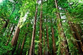 ucla uc experts release report solutions to slow climate redwood forest