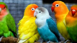 practical loving birds image love hd wallpapers beautiful 1280 720