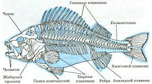 Внутреннее строение рыб скелет и мускулатура Биология Реферат  Рис 164 Скелет речного окуня