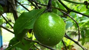 Versatile Jamaican Ackee  Have It Your WayJamaican Fruit Trees