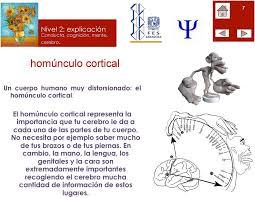 el homúnculo cortical representa la importancia que tu cerebro le da a cada una de las