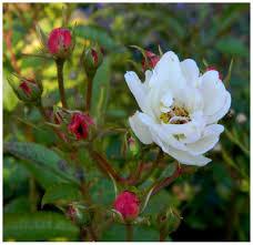 """Résultat de recherche d'images pour """"rose blanches"""""""