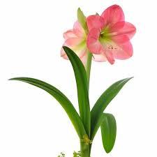Amarilis Rosa simple : venta Amarilis Rosa simple | Plantas ...