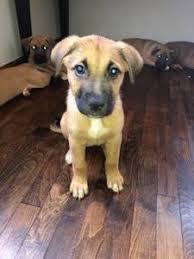 german shepherd boxer mix puppies. Contemporary German German ShepherdBoxer Mix Puppies East Nashville Inside Shepherd Boxer Puppies D