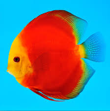 MELON DISCUS | Discus fish, Fish, Aquarium fish