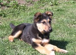 german shepherd mix puppies. Perfect German German Sheprador Pictures And Shepherd Mix Puppies G
