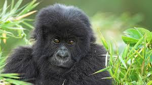 real jungle animals monkeys. Wonderful Animals Real Jungle Animals Monkeys  Photo25 In Jungle Animals Monkeys H