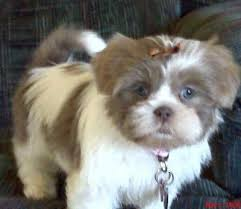 Tashi the Shih Tzu   Puppies   Daily Puppy