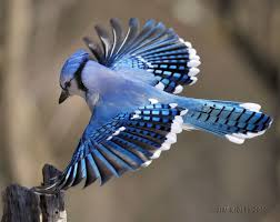 Image result for blue jay bird pictures