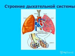 Презентация на тему Всё о вдохе и выдохе Береги свои лёгкие  2 Строение дыхательной системы