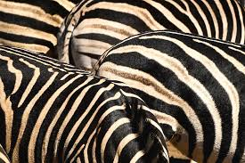 Zebra Patterns Unique Zebra Patterns Digital Art By Pascal Lagesse