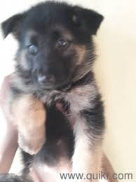 pure breed gsd puppy for at best in malkajgiri hyderabad pets on hyderabad quikr clifieds
