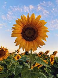 Sunflower Wallpapers: Free HD Download ...