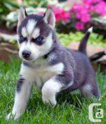 husky puppies for sale. Brilliant Puppies Blue Eyes Siberian Husky Puppies With For Sale S