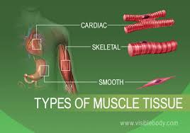 Smooth muscles have a much stronger ability to contract than skeletal muscles, and are able to maintain contraction longer. Muscular System Learn Muscular Anatomy