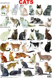 12 Most Popular Domestic Cat Breeds Chart