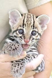 ocelot size endangered animals texas ocelot leopardus pardalis albescens