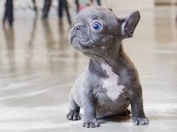 teacup french bulldog.  French For Teacup French Bulldog F