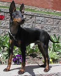 Manchester Terrier Size Chart Toy Manchester Terrier Dog Toy Dog Breeds Online Dog