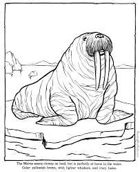 Small Picture Walrus coloring sheets to color