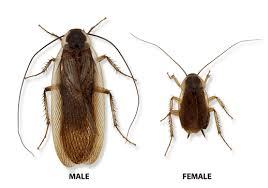 Roach Size Chart Types Of Cockroaches In Michigan Ohio And Indiana