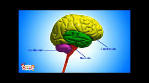 Brain Parts Functions Video For Kids From Www Makemegenius Com