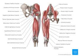 Hip And Thigh Muscles Anatomy And Functions Kenhub