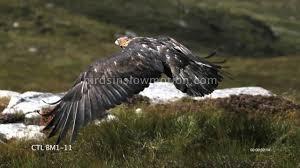 golden eagles flying.  Golden Golden Eagle Slow Motion In Flight Mountain Shot On Phantom HD Gold  5  Shots YouTube Intended Eagles Flying