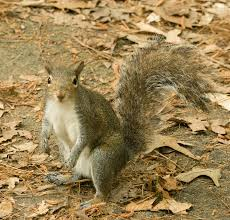 Squirrel Species Chart Eastern Gray Squirrel Encyclopedia Of Life